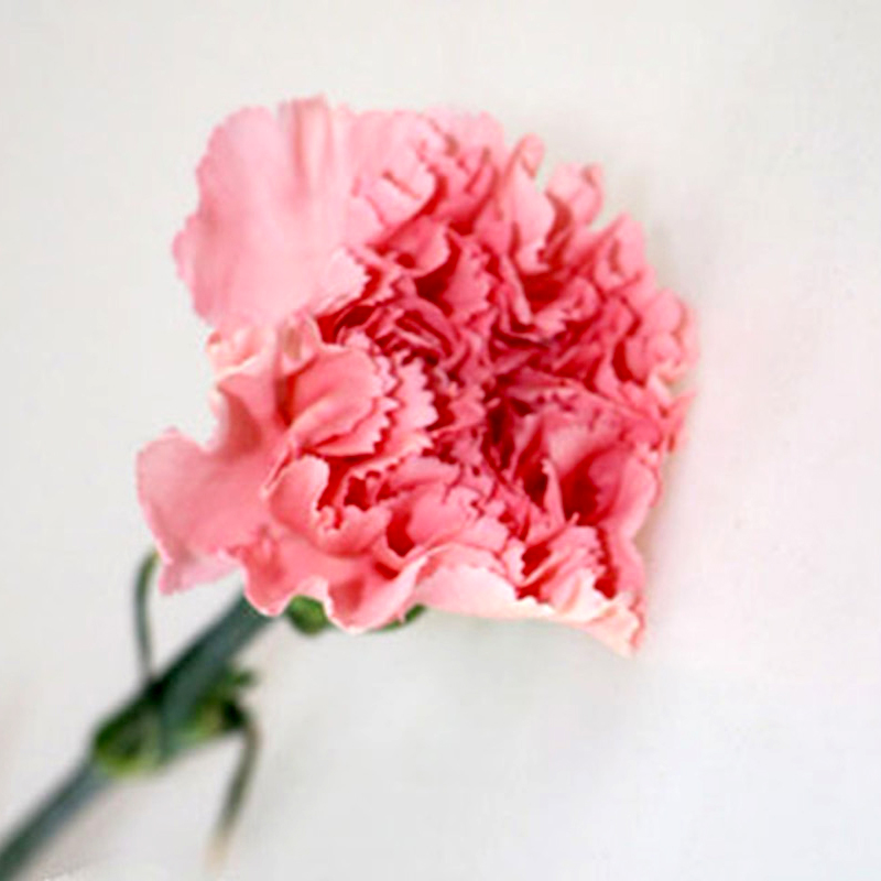 Carnation-Dream Pink