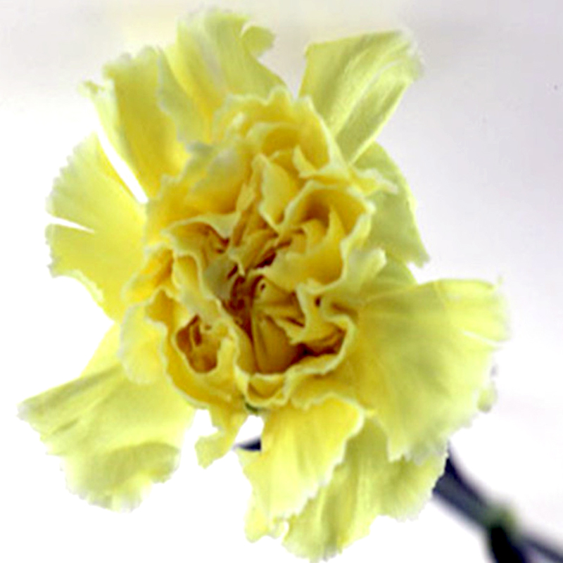 Carnation-Yellow