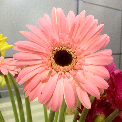 Gerbera-Light Pink