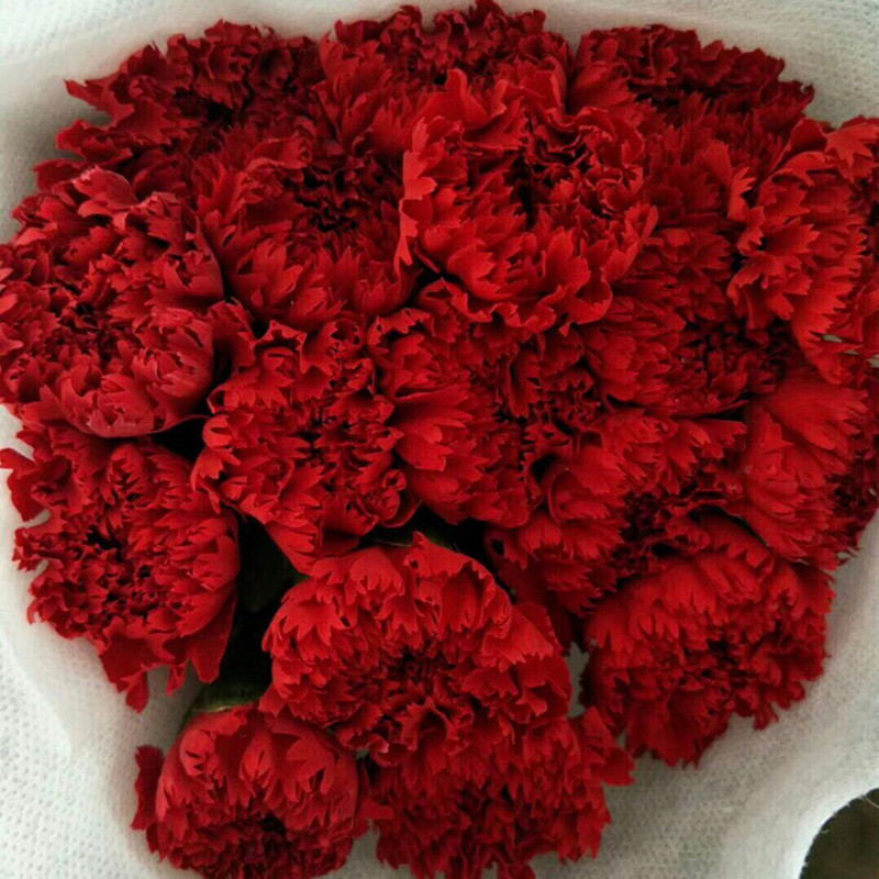 Carnation-Red