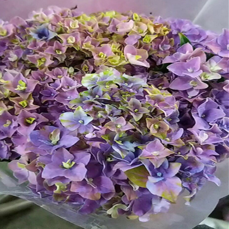 Hydrangea-Assorted Color