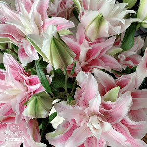 Double Lily-Light Pink