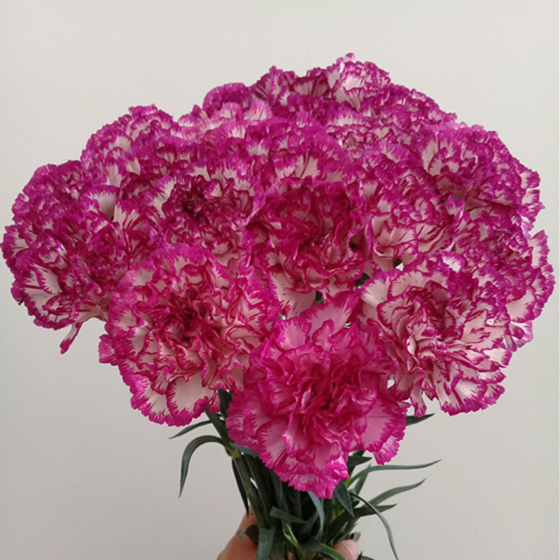 Carnation-Purple& White Edge