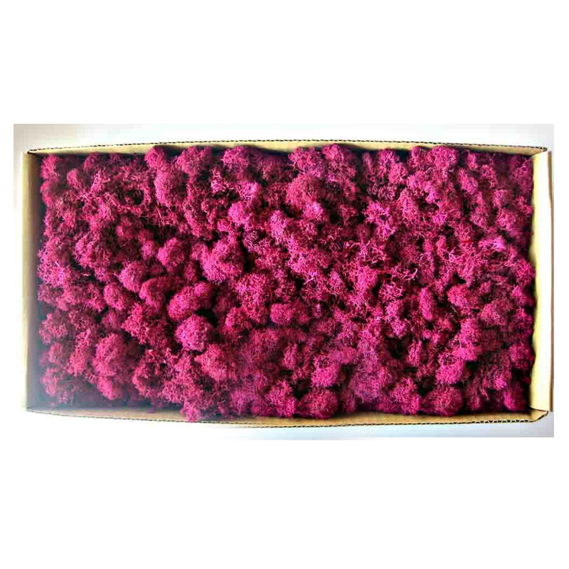 Moss -rose red